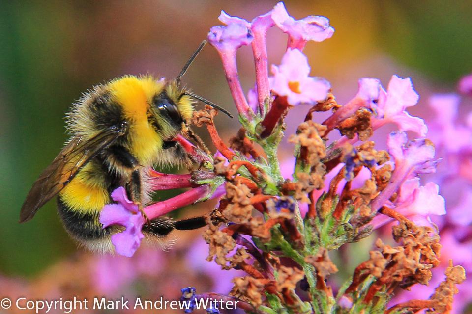 bee in garden close up