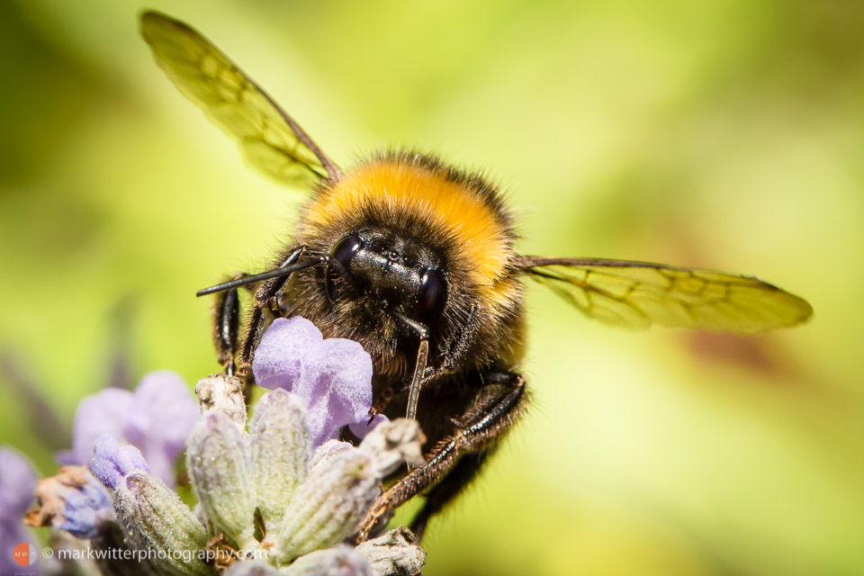 Bees in an English Garden by Ipswich Photographer