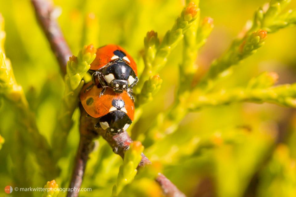 Ladybirds in a garden by Ipswich Photographer