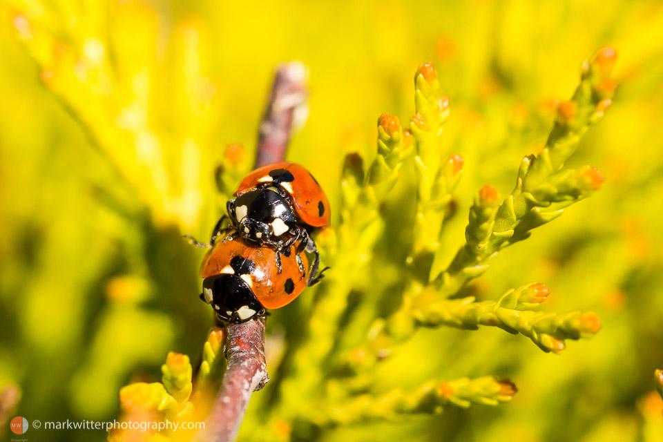 Ladybirds in a garden by Ipswich Photographer 2
